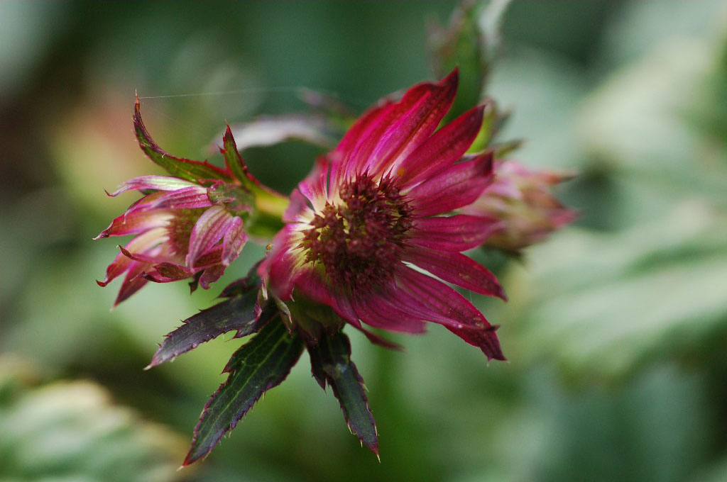 Astrantia ruby star Joy vaste planten